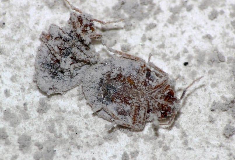 Tierra de diatomeas como insecticida