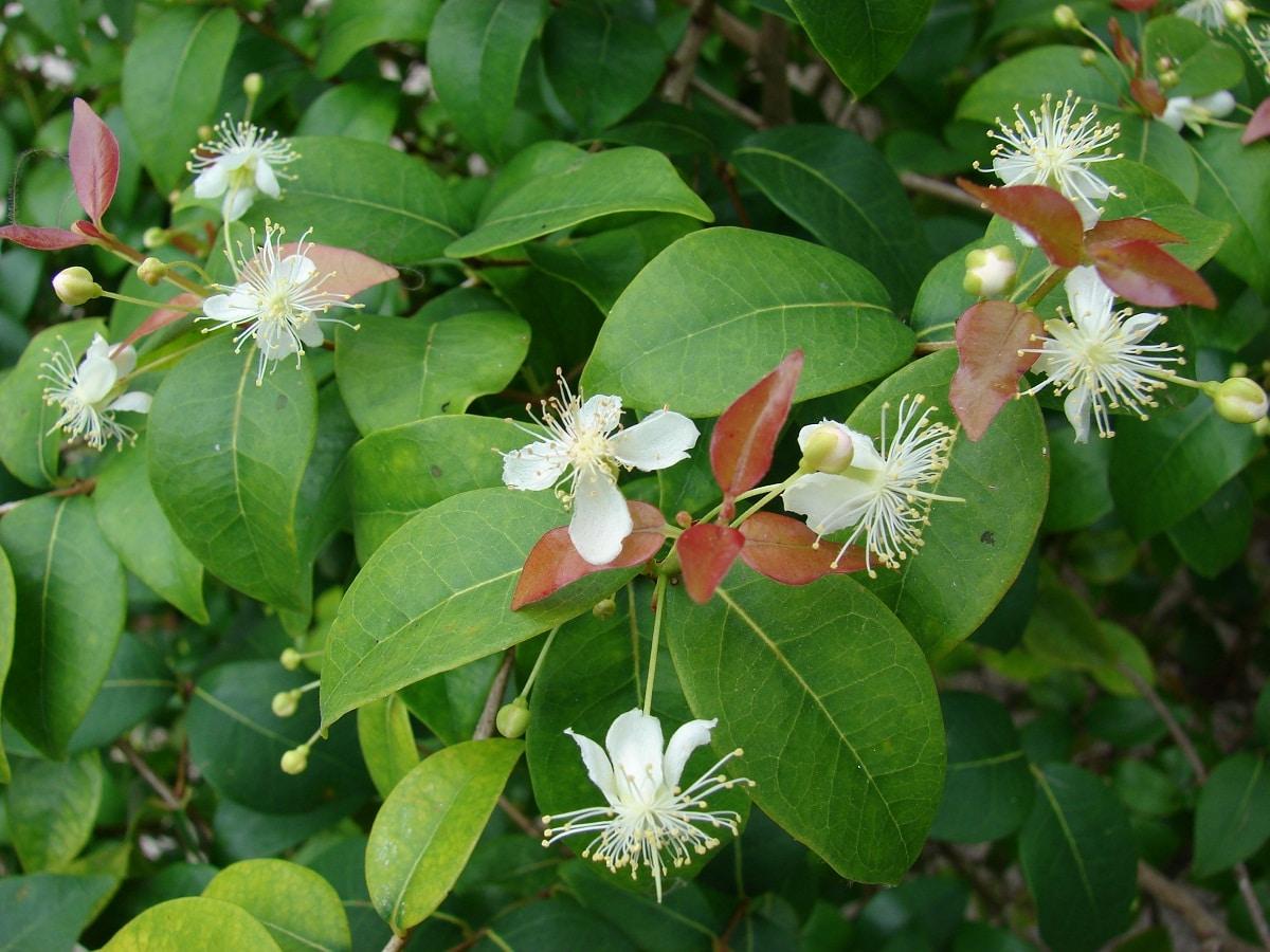 La pitanga es un arbusto tropical