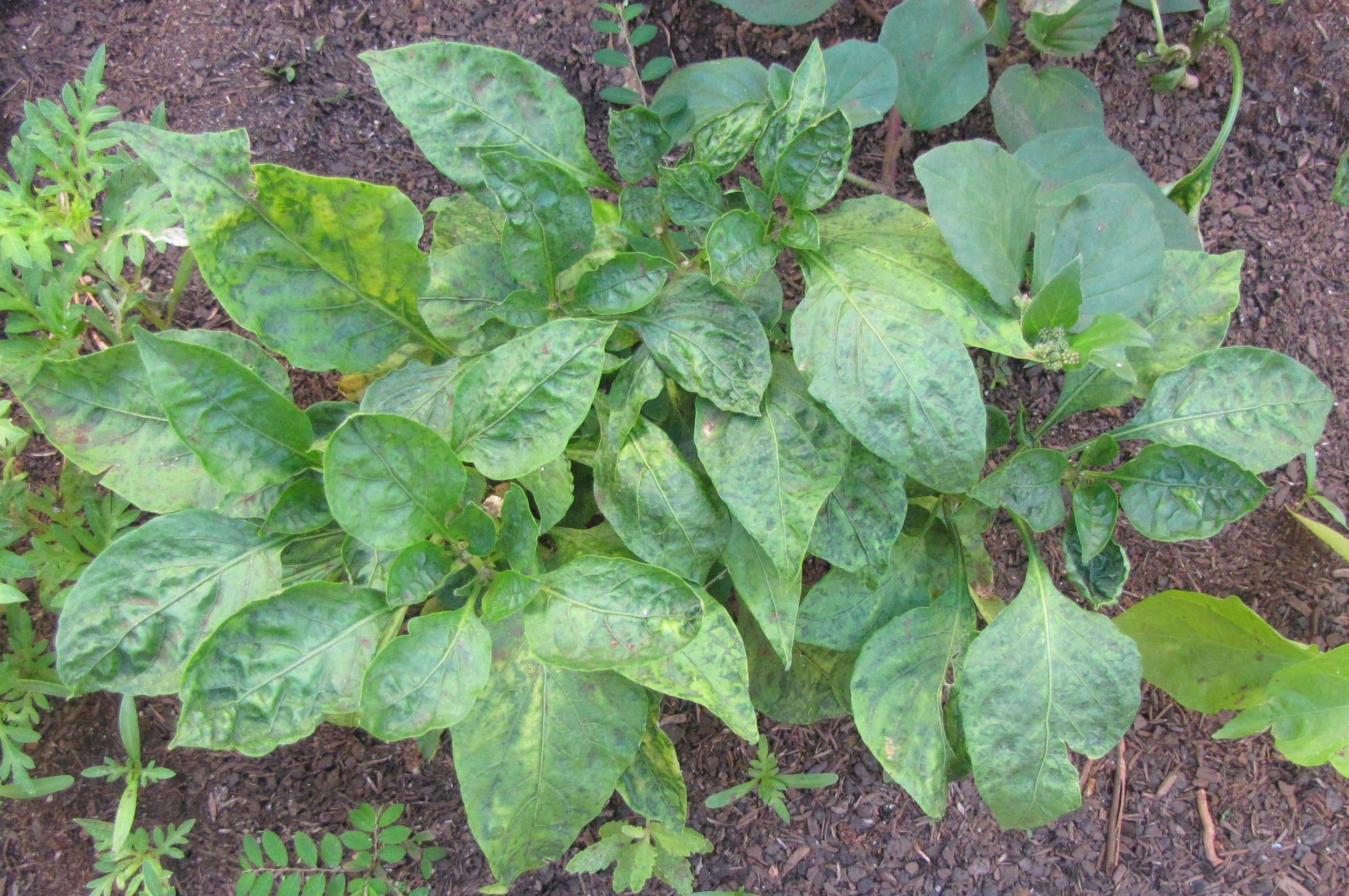 Planta afectada por virus