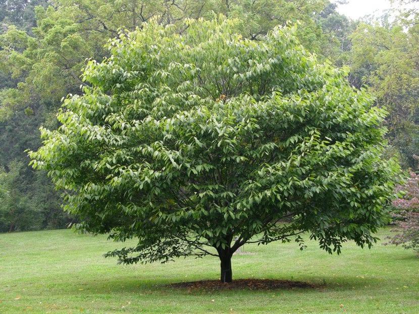 Árbol de Acer carpinifolium
