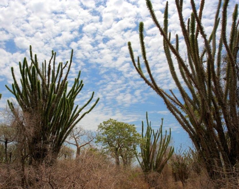 Alluaudia procera en Madagascar