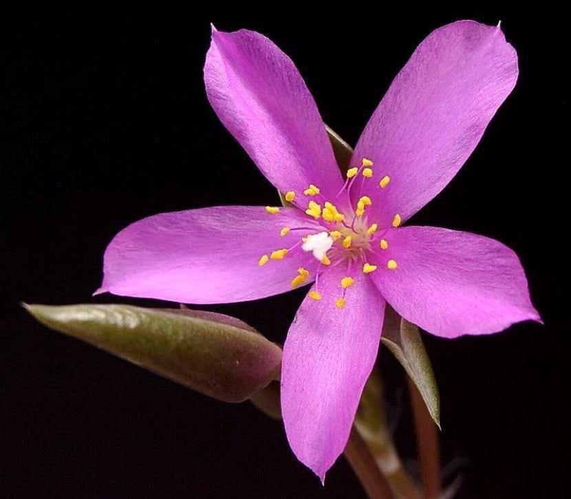 Anacampseros rufescens en flor