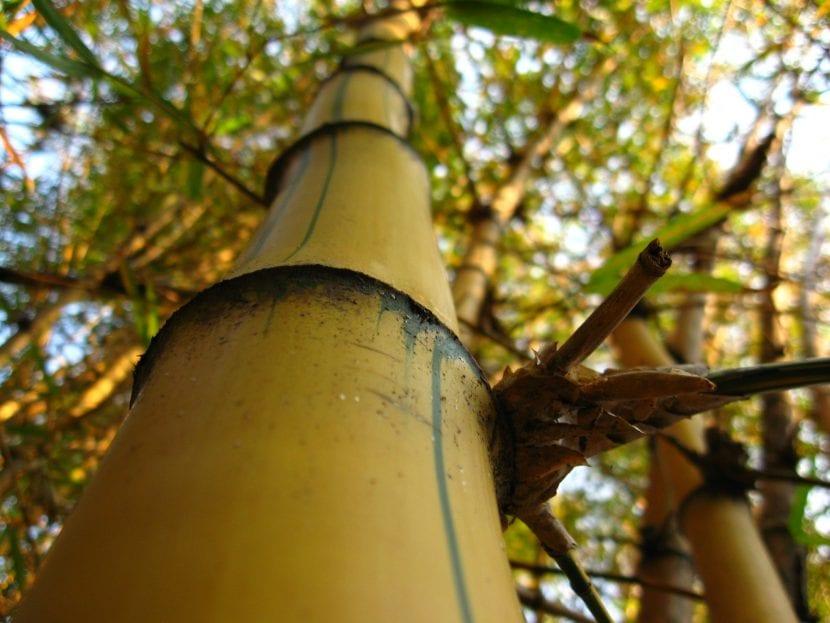 Bambú imperial adulto