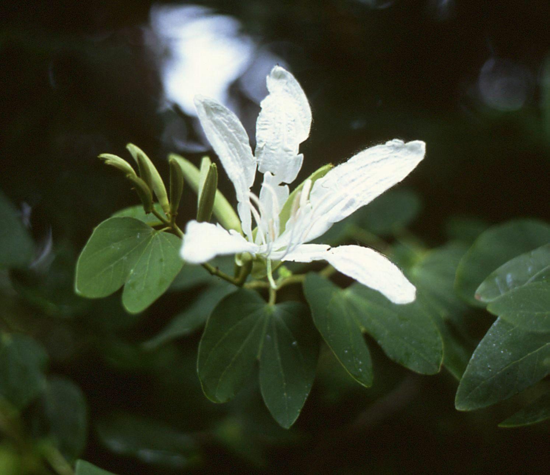 Vista de la Bauhinia forficata en flor
