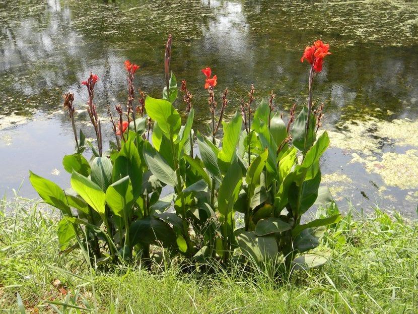 Canna indica en un jardín