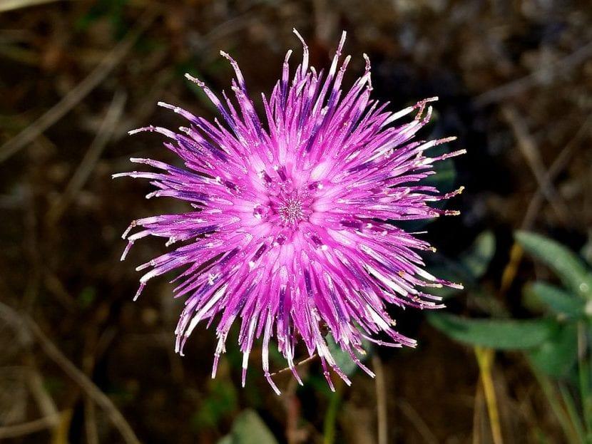 Centaurea nigra en flor
