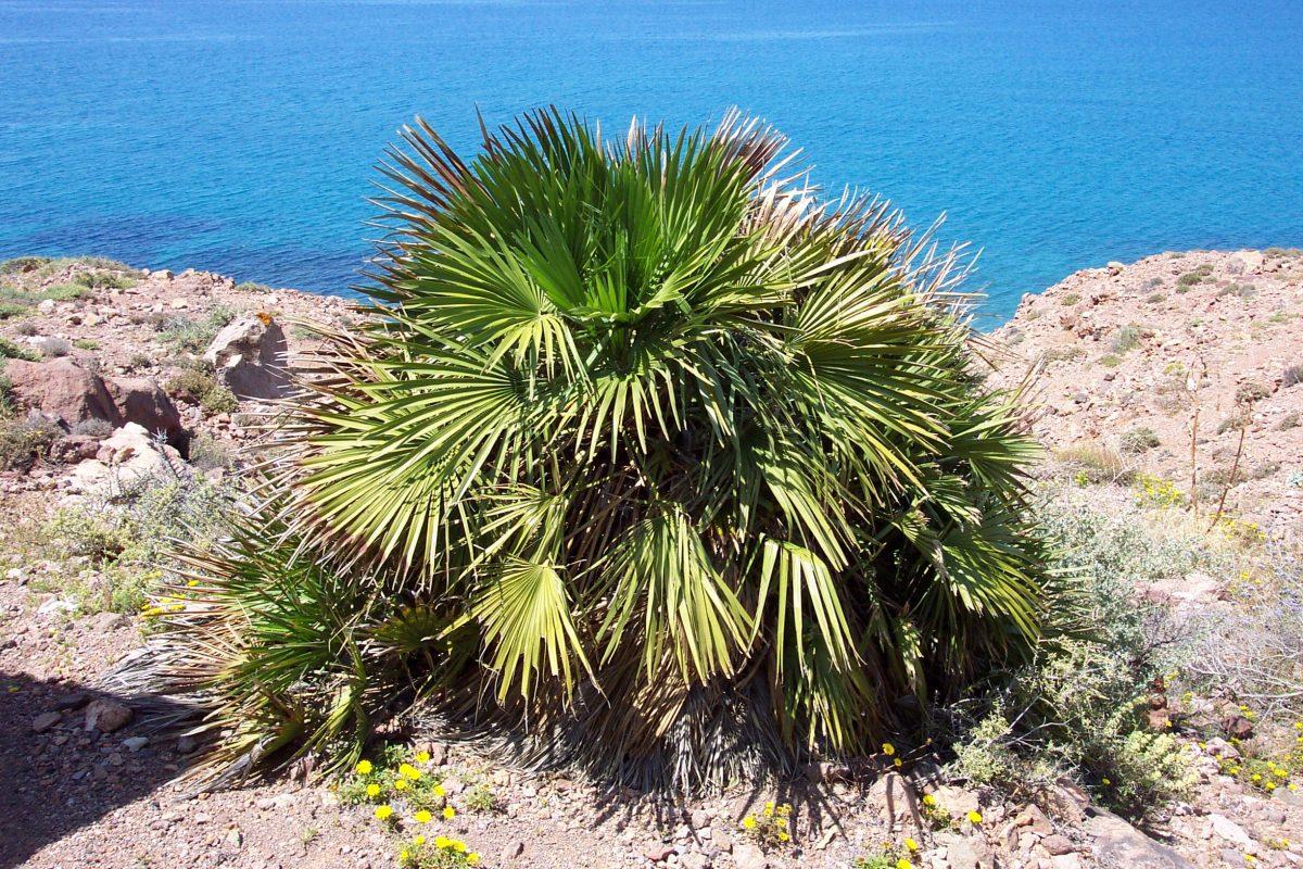 Chamaerops humilis, palmera resistente a la salinidad