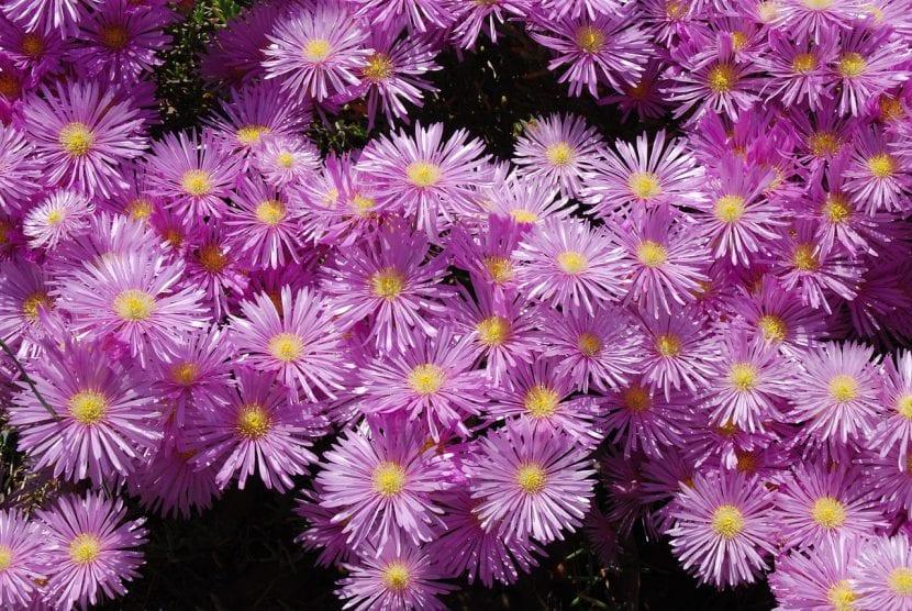 Planta de Delosperma cooperi en flor