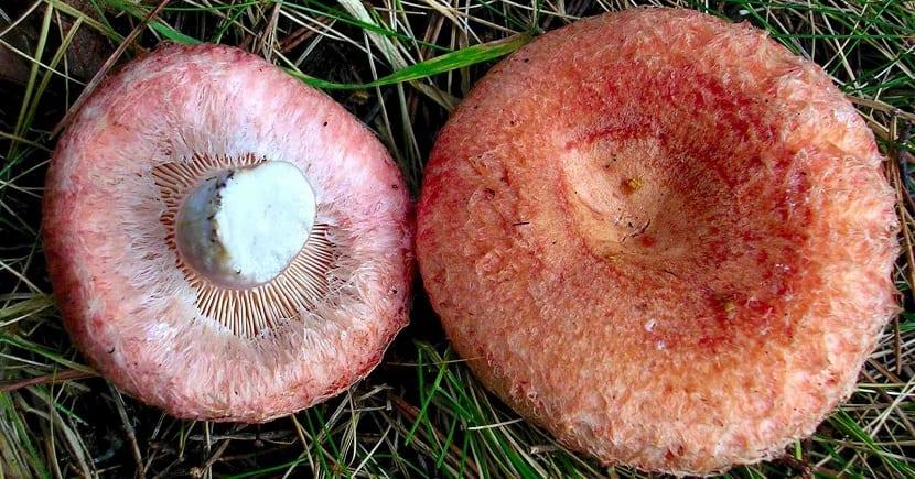 Lactarius torminosus