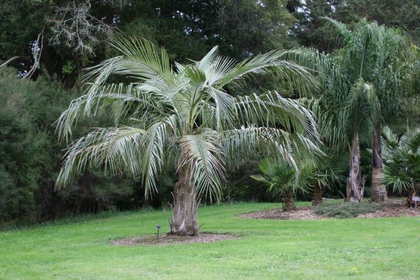 Parajubaea cocoides, una palmera que se parece mucho al cocotero.