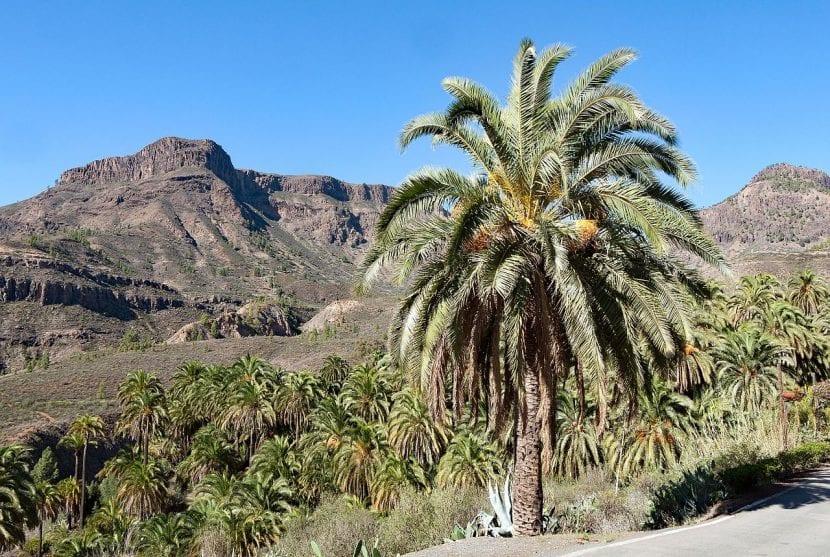 Phoenix canariensis o palmera canaria, endémica de las Islas Canarias