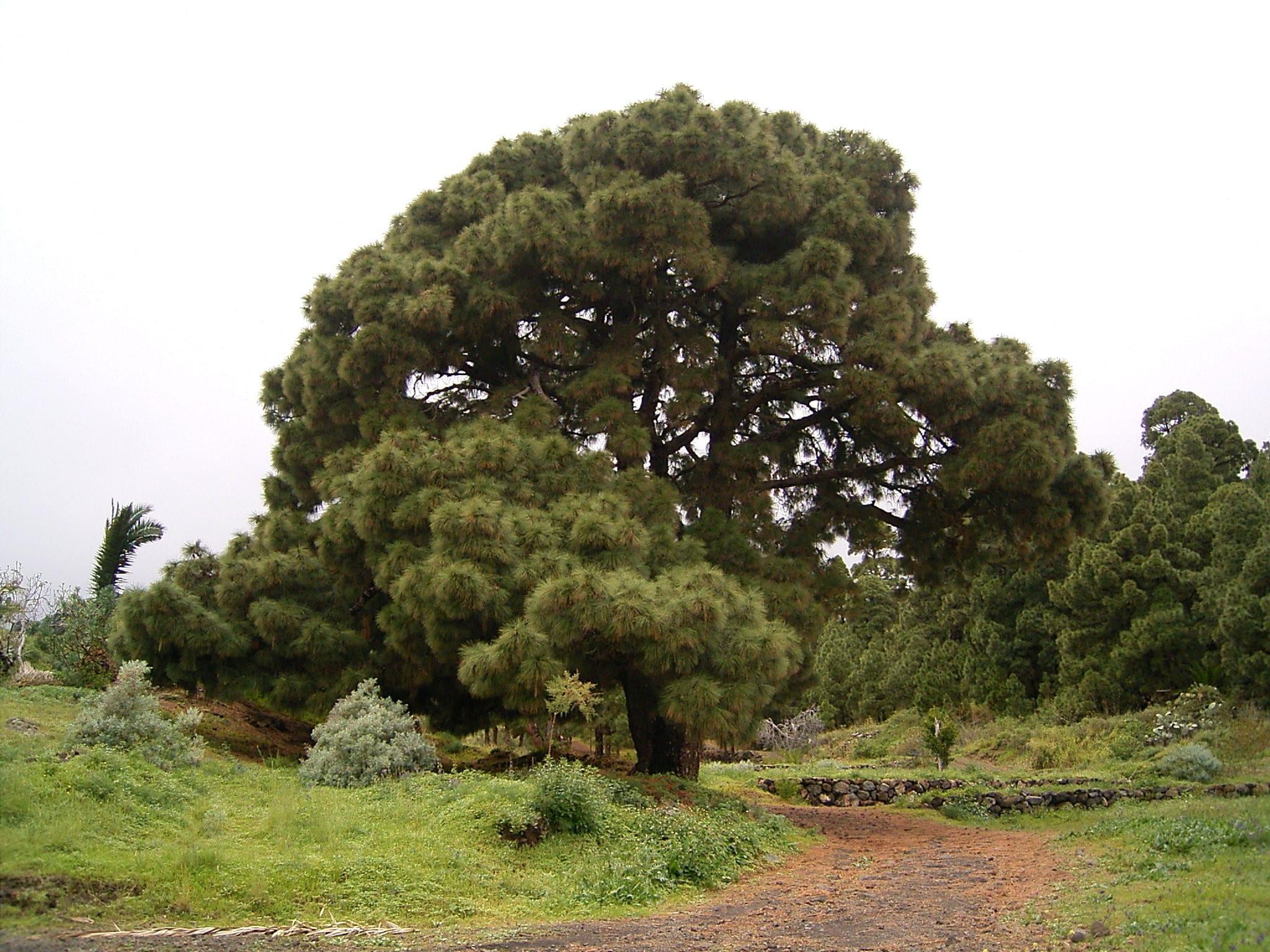 Ejemplar adulto de pino canario