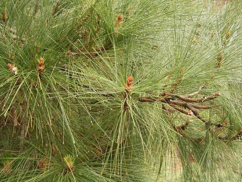 Hojas del pino canario o Pinus canariensis