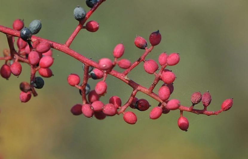 Frutos de la Pistacia terebinthus