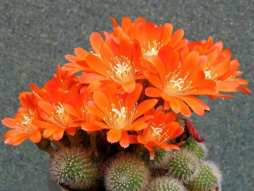 Cactus de la especie Rebutia spinossissima