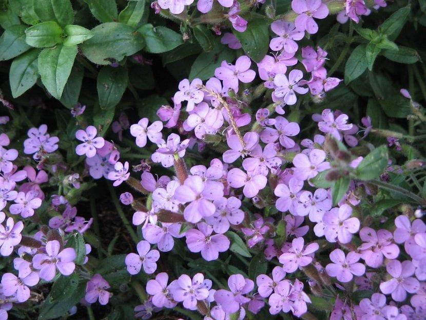 Planta de Saponaria ocymoides