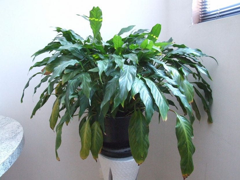 Planta de interior Spatiphyllum wallisii