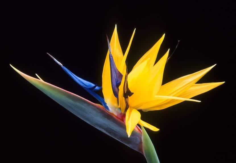 Strelitzia reginae en flor.