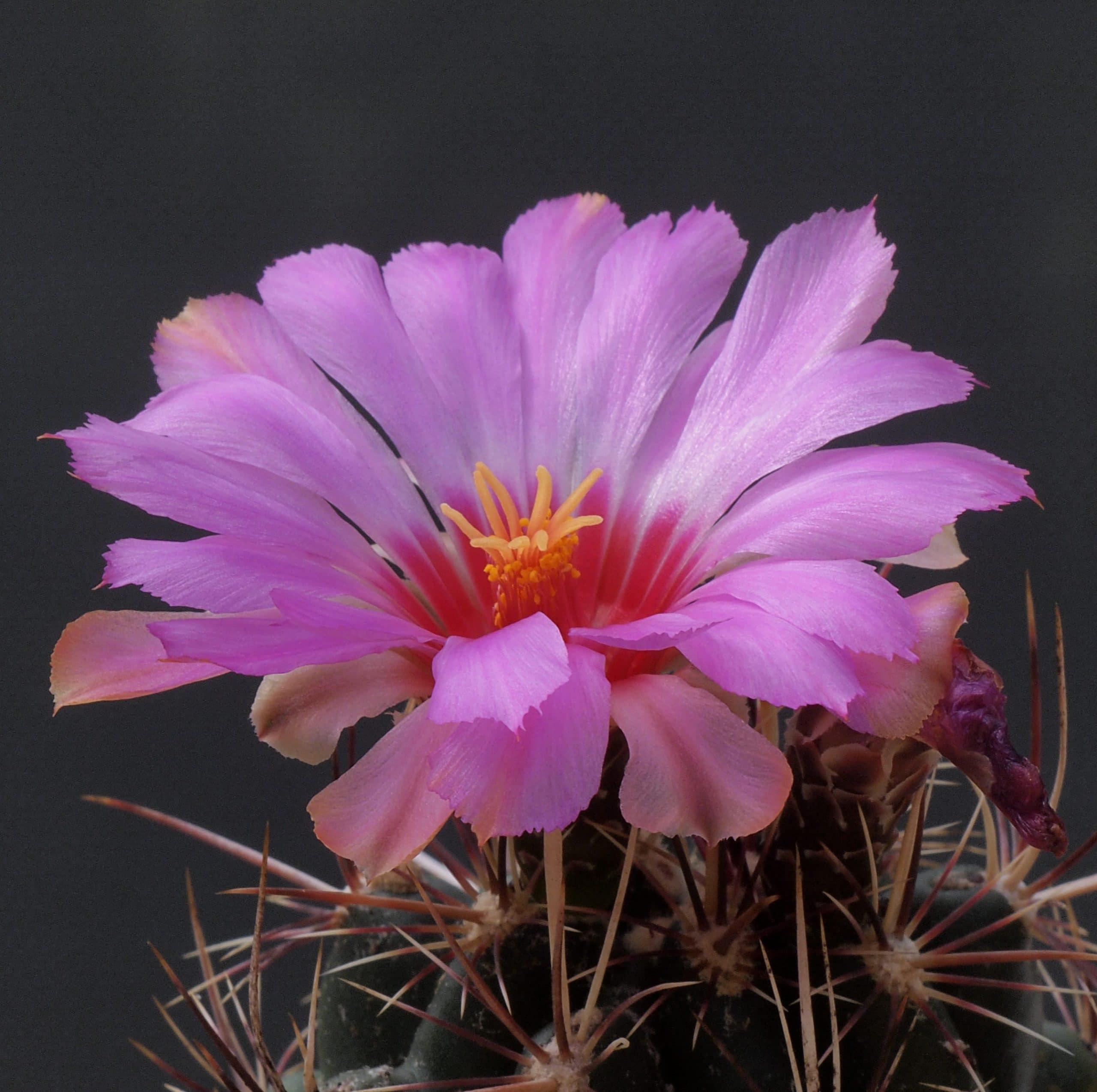 Ejemplar de Thelocactus bicolor v. tanquecillos