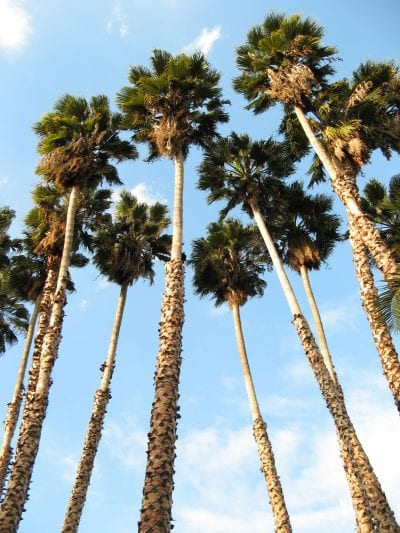 Washingtonia robusta adultas