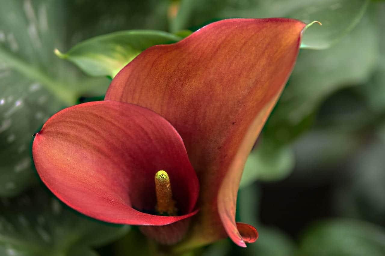 Anthurium en flor