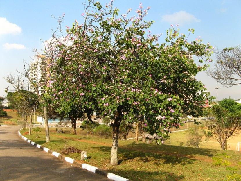 Árbol de Bauhinia