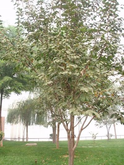 Vista del árbol de caqui