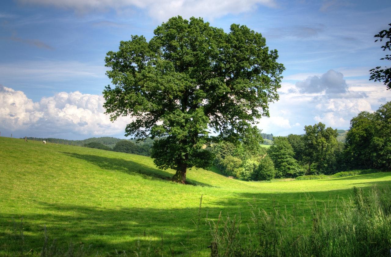 Un árbol es una planta vascular leñosa