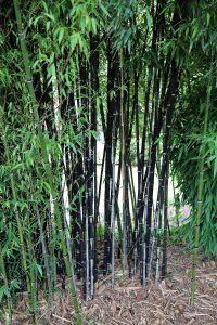 El bambú negro es una planta de rápido crecimiento