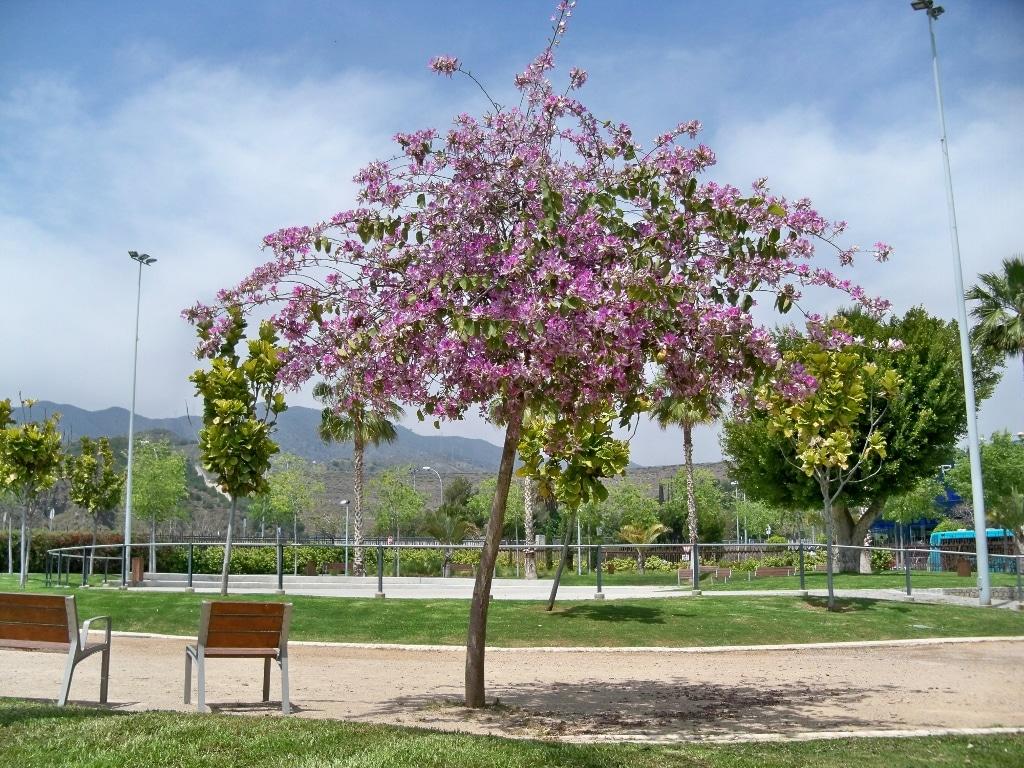 La Bauhinia es un árbol mediano