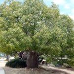 El Brachychiton rupestris es un árbol tropical que resiste las heladas
