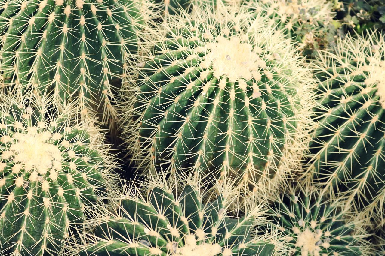 Los cactus son plantas vasculares, generalmente con espinas