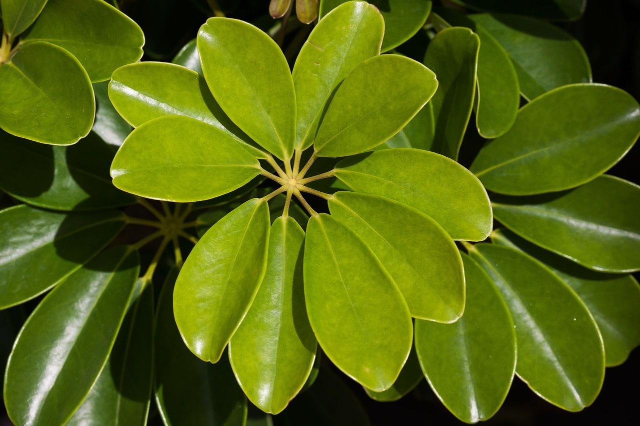 La cheflera es un arbusto perenne
