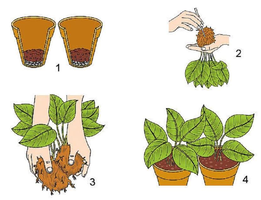 metodo para dividir plantas