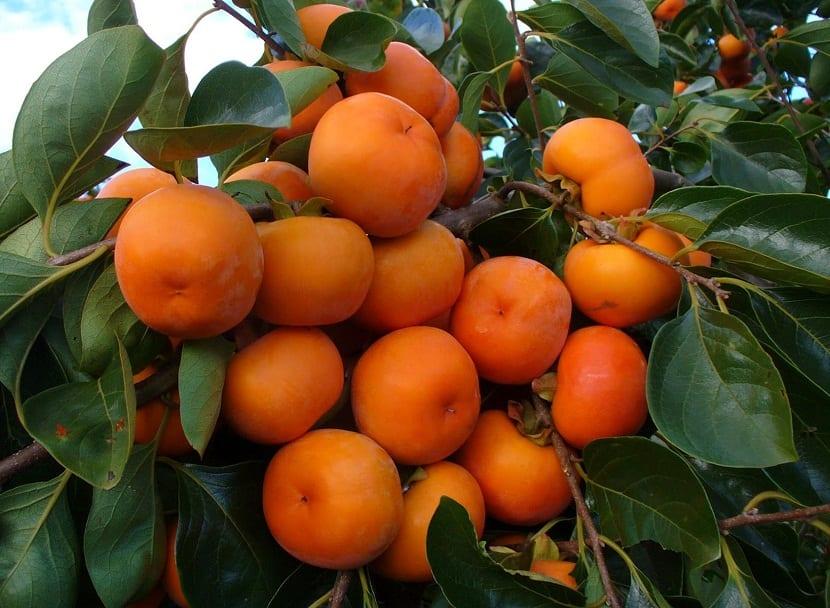 Aprende como cultivar la deliciosa fruta del caqui for Viveros frutales