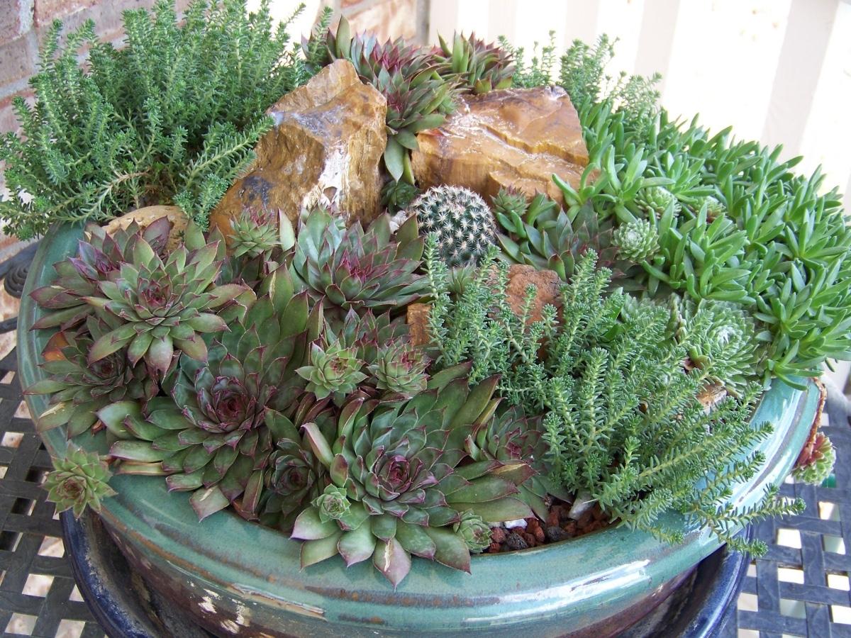 Las plantas crasas se cultivan en macetas