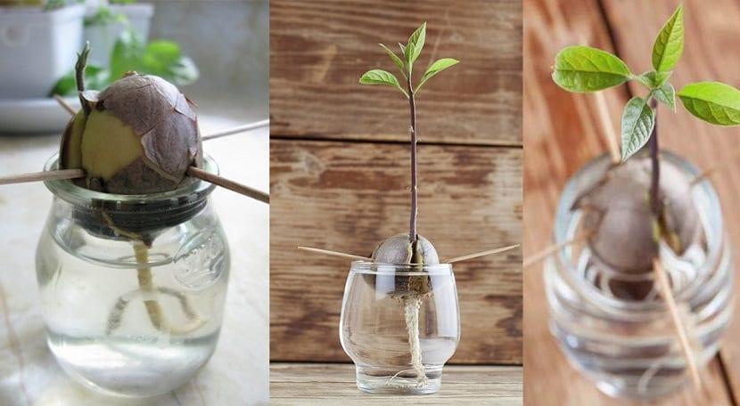 cómo sembrar aguacates en una maceta? muy facilmente