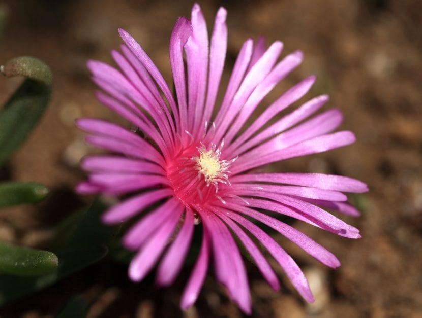 Flor de la Delosperma cooperi
