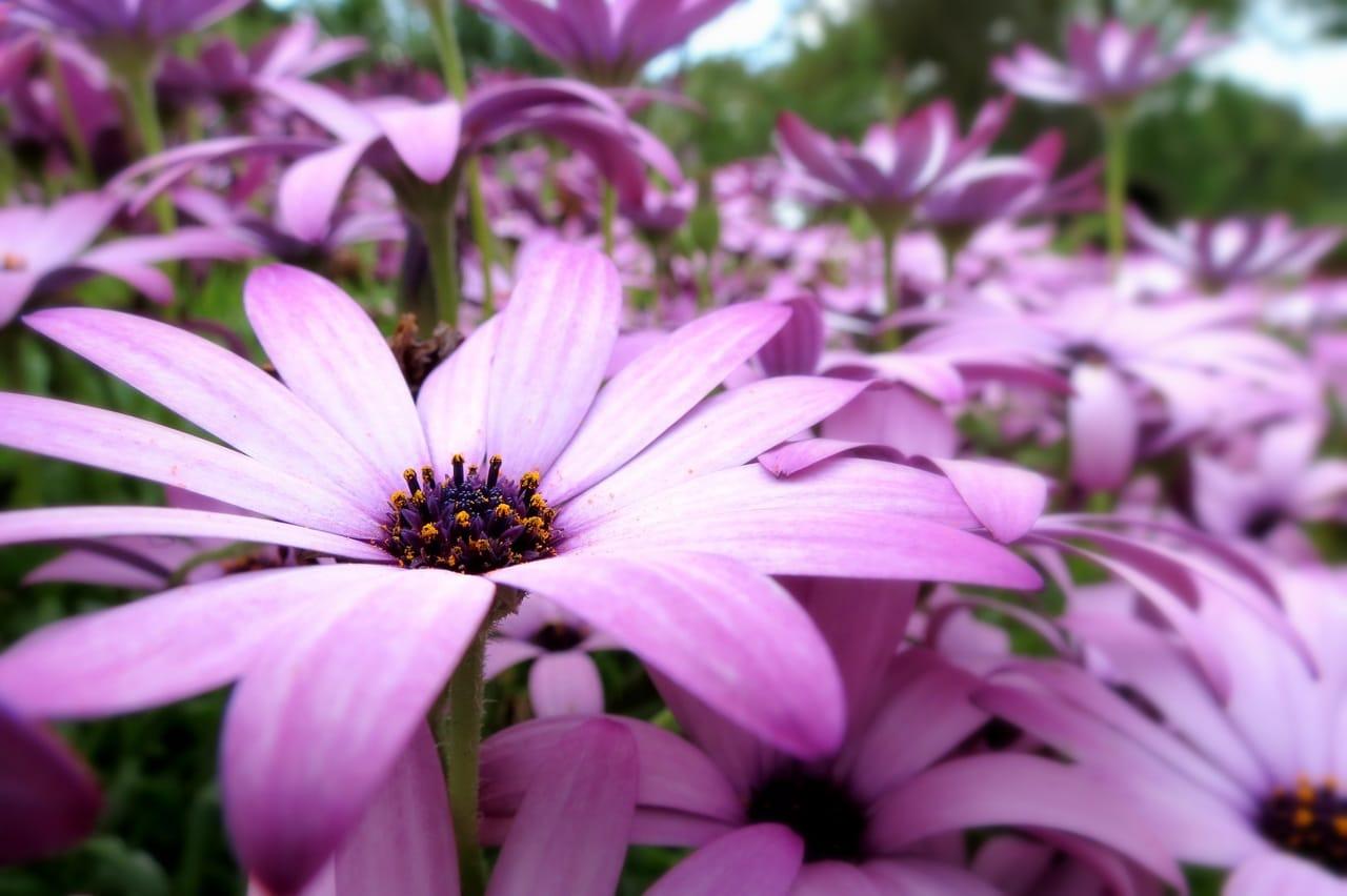 La dimorfoteca es una planta con flores en forma de margarita