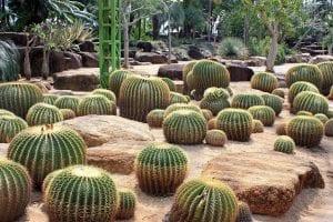 Echinocactus grusonii en jardín