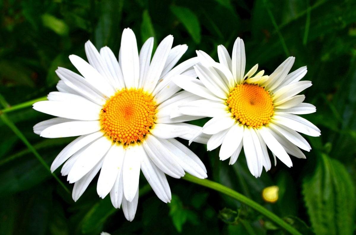 flores de petalos blancos