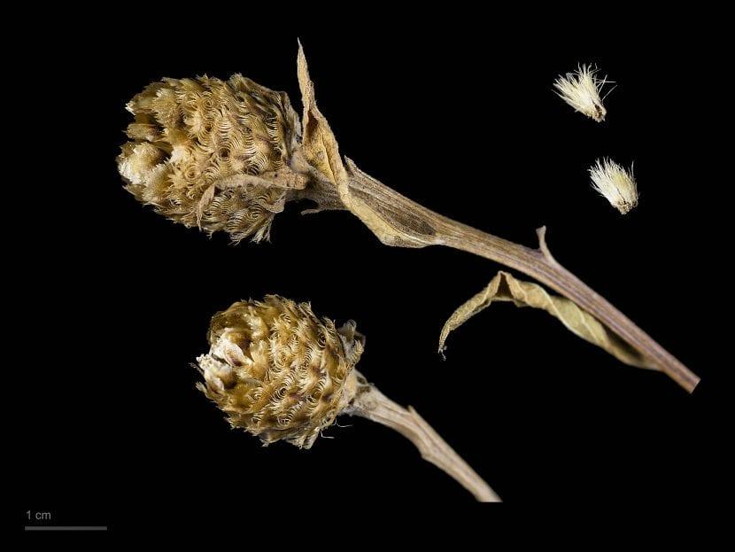 Frutos y semillas de Centaurea nigra