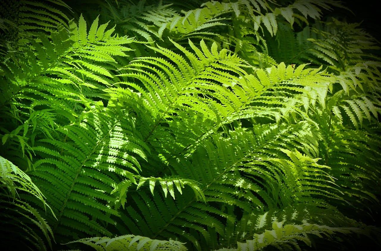 Helechos, unas plantas estupendas para jardín