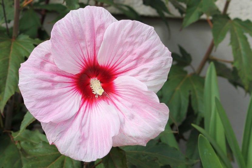 Hibiscus rosa-sinensis en flor