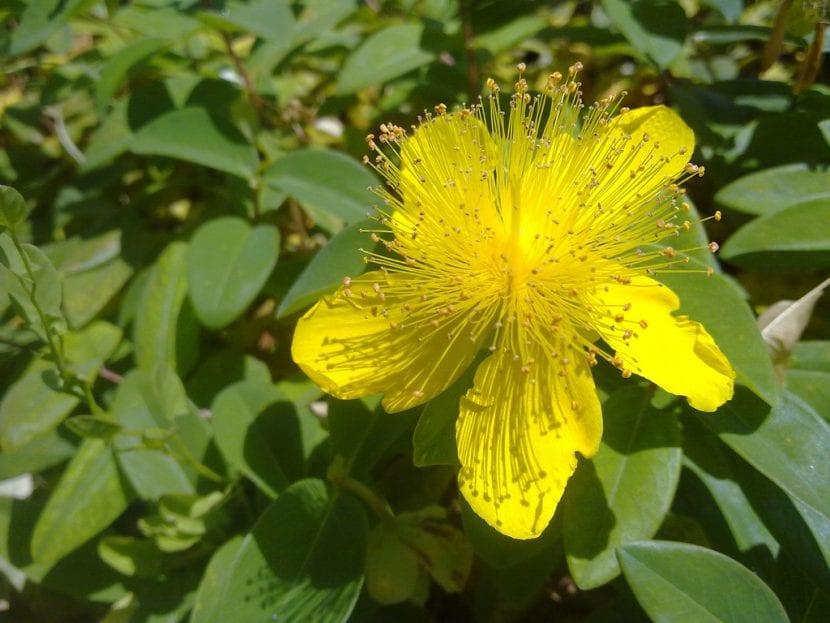 Flor de hipérico