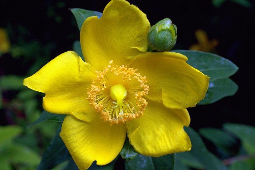 Flor amarilla del hipérico