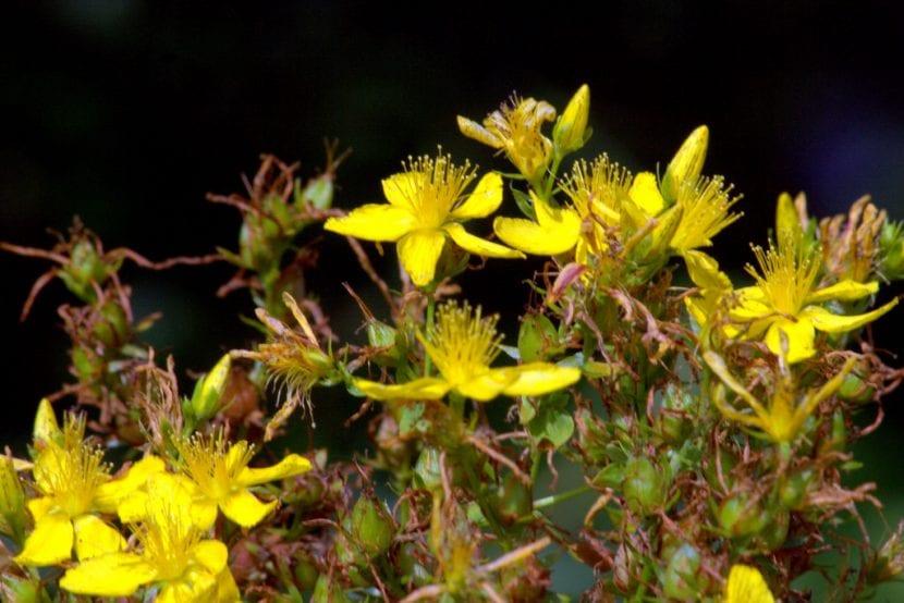Hipericum perforatum en flor