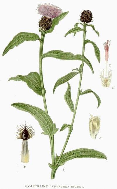 Ilustración de la Centaurea nigra