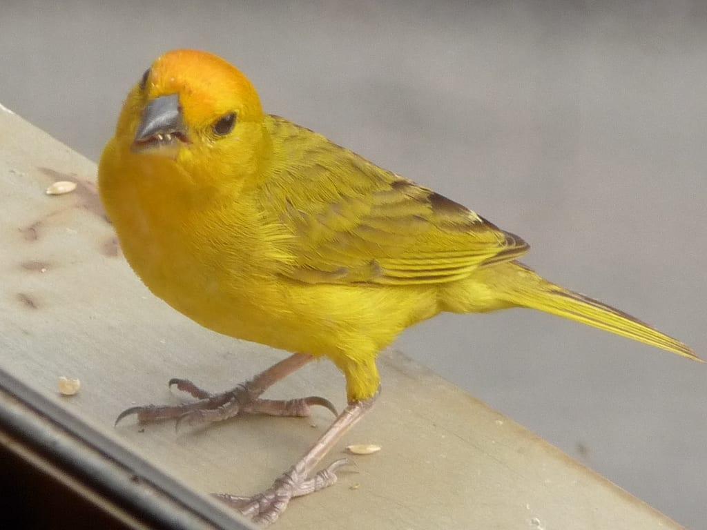Jilguero amarillo