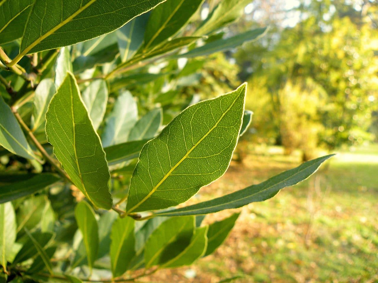 El laurel es un árbol perenne